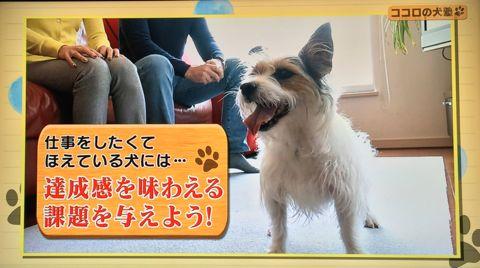 ココロの犬塾 NHK 趣味どきっ! ココロの犬塾  ? 空気の読めるワンちゃんをめざせ!?  高倉はるか (タカクラハルカ )講師 最初のしつけ その後の犬との暮らし 11.jpg