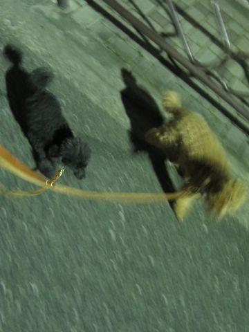 トイ・プードルペットホテル都内フントヒュッテ駒込犬おあずかり様子おさんぽ文京区トイプードルトリミング画像hundehutte東京犬ホテル料金ドッグホテルblog_25.jpg