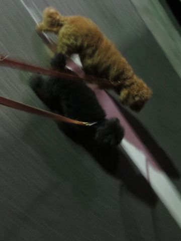 トイ・プードルペットホテル都内フントヒュッテ駒込犬おあずかり様子おさんぽ文京区トイプードルトリミング画像hundehutte東京犬ホテル料金ドッグホテルblog_29.jpg