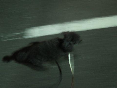 トイ・プードルペットホテル都内フントヒュッテ駒込犬おあずかり様子おさんぽ文京区hundehutte東京ドッグホテルトイプードル犬ホテル料金ペットホテルblog_17.jpg