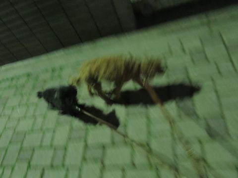 トイ・プードルペットホテル都内フントヒュッテ駒込犬おあずかり様子おさんぽ文京区hundehutte東京ドッグホテルトイプードル犬ホテル料金ペットホテルblog_30.jpg