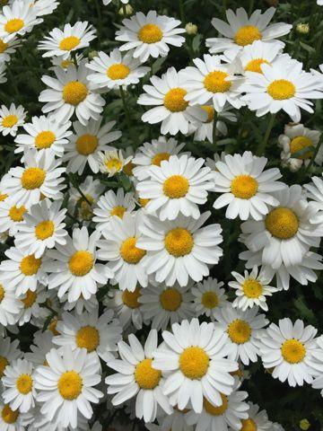 花 白い花 画像 4月 5月 春 初夏 近所の花 道端の花 野に咲く花 よく目にするけど名前がわからない花 白と黄色の花 黄色と白の花 道路脇に咲く花 写真.jpg
