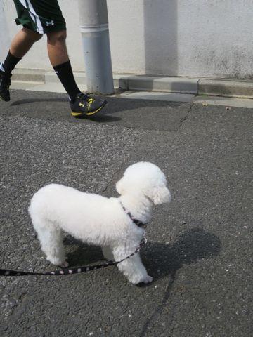 トイ・プードルペットホテル様子おさんぽ犬おあずかり文京区フントヒュッテ東京トイプードルホワイト画像都内ペットホテル駒込トイプーホワイト性格_8.jpg