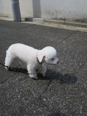 トイ・プードルペットホテル様子おさんぽ犬おあずかり文京区フントヒュッテ東京トイプードルホワイト画像都内ペットホテル駒込トイプーホワイト性格_9.jpg