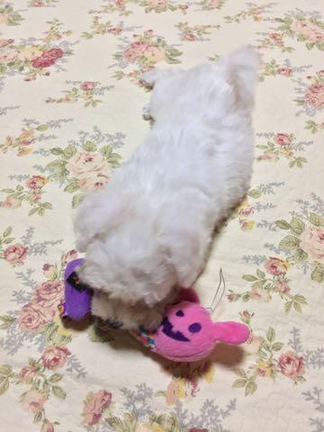 ビションフリーゼ子犬フントヒュッテこいぬ家族募集里親関東_1698.jpg