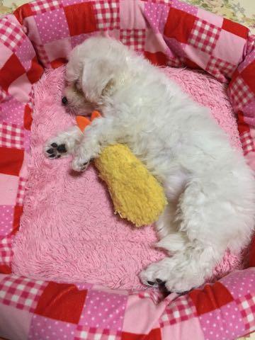 ビションフリーゼ子犬フントヒュッテこいぬ家族募集里親関東_1725.jpg