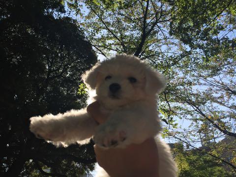 ビションフリーゼ子犬フントヒュッテこいぬ家族募集里親関東_1738.jpg