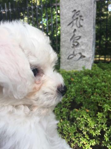 ビションフリーゼ子犬フントヒュッテこいぬ家族募集里親関東_1740.jpg