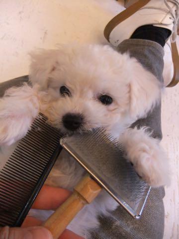 ビションフリーゼ子犬フントヒュッテこいぬ家族募集里親関東_1771.jpg