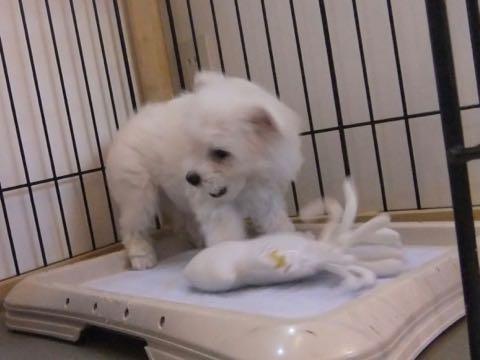 ビションフリーゼ子犬フントヒュッテこいぬ家族募集里親関東_1773.jpg
