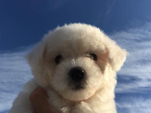 ビションフリーゼ子犬フントヒュッテこいぬ家族募集里親関東_1530.jpg