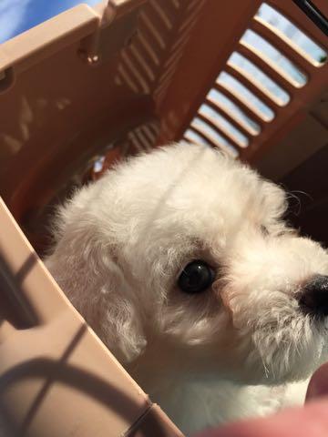 ビションフリーゼ子犬フントヒュッテこいぬ家族募集里親関東_1531.jpg
