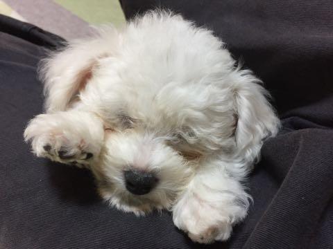 ビションフリーゼ子犬フントヒュッテこいぬ家族募集里親関東_1889.jpg