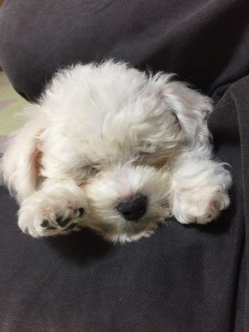 ビションフリーゼ子犬フントヒュッテこいぬ家族募集里親関東_1890.jpg