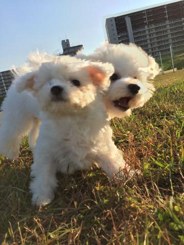 ビションフリーゼ子犬フントヒュッテこいぬ家族募集里親関東_1900.jpg