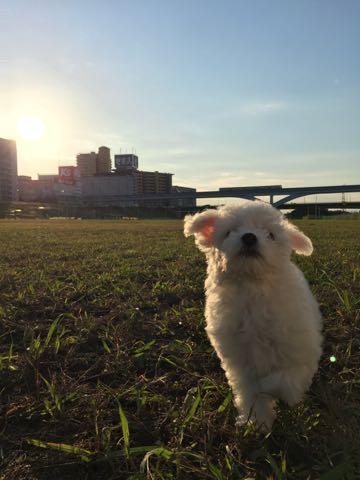 ビションフリーゼ子犬フントヒュッテこいぬ家族募集里親関東_1933.jpg