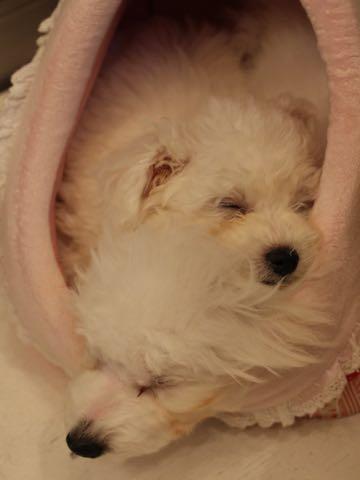 ビションフリーゼ子犬フントヒュッテこいぬ家族募集里親関東_1955.jpg