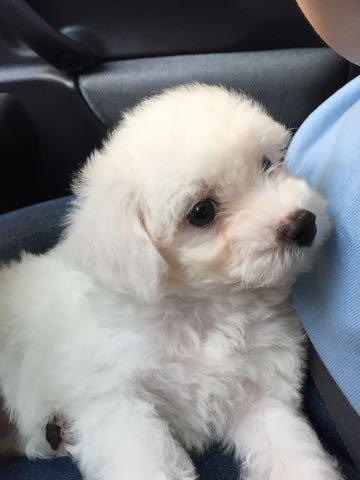 ビションフリーゼ子犬フントヒュッテこいぬ家族募集里親関東_1540.jpg