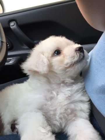 ビションフリーゼ子犬フントヒュッテこいぬ家族募集里親関東_1541.jpg