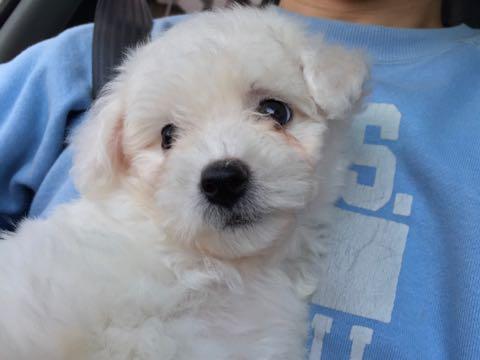 ビションフリーゼ子犬フントヒュッテこいぬ家族募集里親関東_1542.jpg