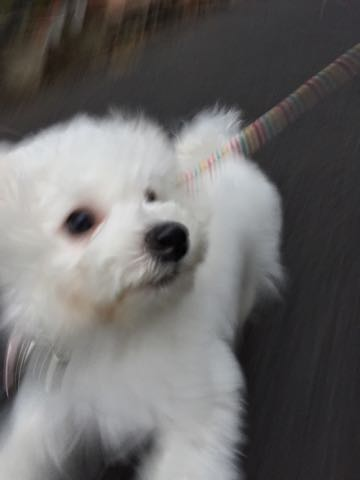 ビションフリーゼ子犬フントヒュッテこいぬ家族募集里親関東_2033.jpg