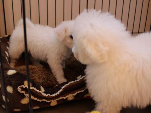 ビションフリーゼ子犬フントヒュッテこいぬ家族募集里親関東_1545.jpg