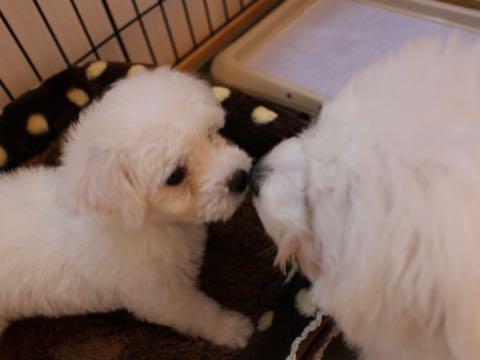 ビションフリーゼ子犬フントヒュッテこいぬ家族募集里親関東_1546.jpg
