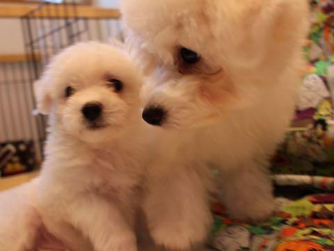 ビションフリーゼ子犬フントヒュッテこいぬ家族募集里親関東_1549.jpg