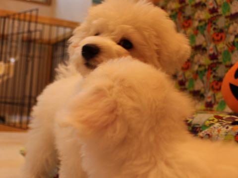 ビションフリーゼ子犬フントヒュッテこいぬ家族募集里親関東_1551.jpg