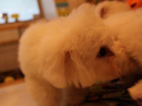 ビションフリーゼ子犬フントヒュッテこいぬ家族募集里親関東_1552.jpg