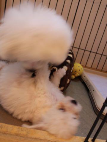 ビションフリーゼ子犬フントヒュッテこいぬ家族募集里親関東_1555.jpg