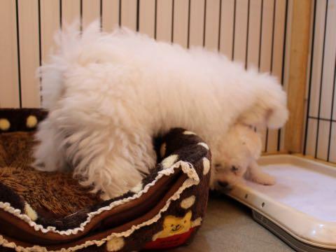 ビションフリーゼ子犬フントヒュッテこいぬ家族募集里親関東_1557.jpg