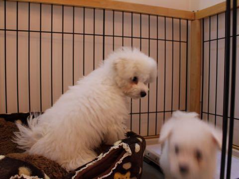 ビションフリーゼ子犬フントヒュッテこいぬ家族募集里親関東_1558.jpg