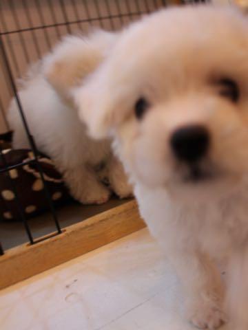 ビションフリーゼ子犬フントヒュッテこいぬ家族募集里親関東_1560.jpg