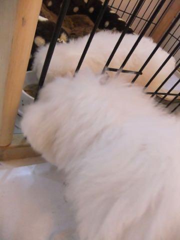 ビションフリーゼ子犬フントヒュッテこいぬ家族募集里親関東_1563.jpg