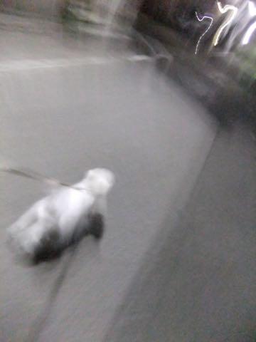 ビションフリーゼ子犬フントヒュッテこいぬ家族募集里親関東_2047.jpg