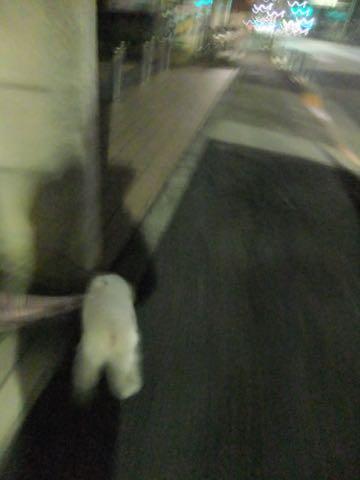 ビションフリーゼ子犬フントヒュッテこいぬ家族募集里親関東_2049.jpg