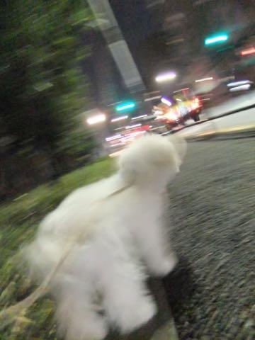ビションフリーゼ子犬フントヒュッテこいぬ家族募集里親関東_2051.jpg