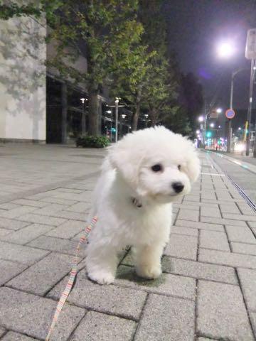ビションフリーゼ子犬フントヒュッテこいぬ家族募集里親関東_2054.jpg