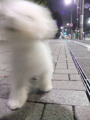ビションフリーゼ子犬フントヒュッテこいぬ家族募集里親関東_2055.jpg