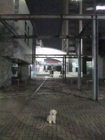 ビションフリーゼ子犬フントヒュッテこいぬ家族募集里親関東_2057.jpg