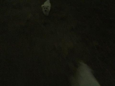 ビションフリーゼ子犬フントヒュッテこいぬ家族募集里親関東_2062.jpg