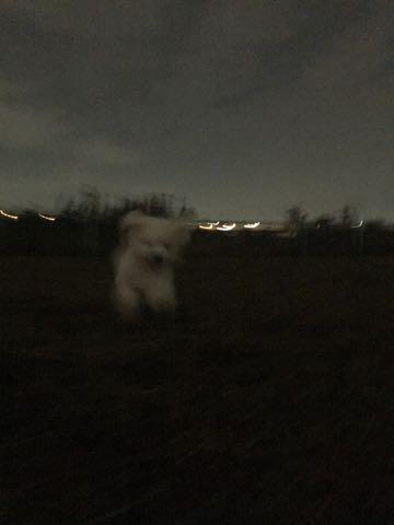 ビションフリーゼ子犬フントヒュッテこいぬ家族募集里親関東_2070.jpg