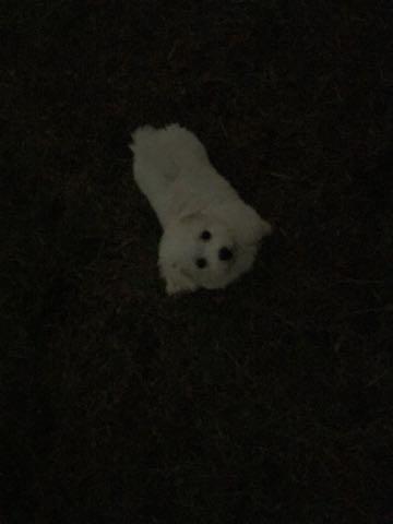 ビションフリーゼ子犬フントヒュッテこいぬ家族募集里親関東_2072.jpg