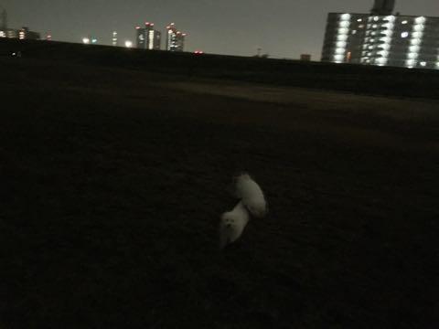 ビションフリーゼ子犬フントヒュッテこいぬ家族募集里親関東_2073.jpg