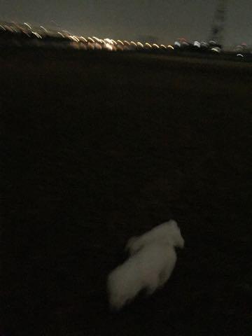 ビションフリーゼ子犬フントヒュッテこいぬ家族募集里親関東_2091.jpg