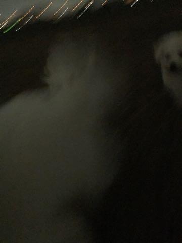 ビションフリーゼ子犬フントヒュッテこいぬ家族募集里親関東_2093.jpg