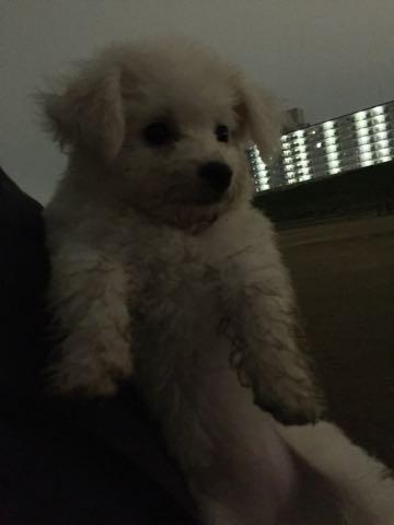 ビションフリーゼ子犬フントヒュッテこいぬ家族募集里親関東_2097.jpg
