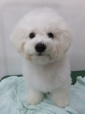 ビションフリーゼ子犬フントヒュッテこいぬ家族募集里親関東_2101.jpg