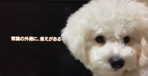 ビションフリーゼ子犬フントヒュッテこいぬ家族募集里親関東_2110.jpg